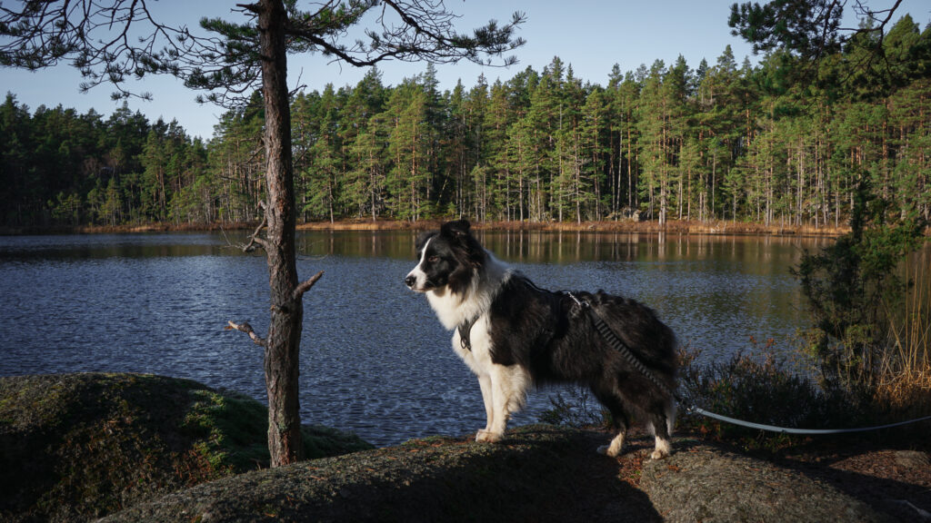 Tiveden border collie wanderdogs Oxögabergsrundan